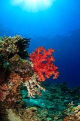 Soft coral and sunburst - Sipadan Barrier Reef