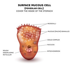 Foveolar cell or surface mucous cell of the stomach wall,  secretes mucus which cover the stomach wall, protecting it from the gastric acid.