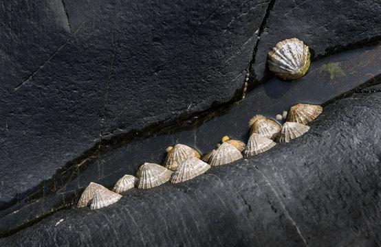 Limpets on seaside rocks