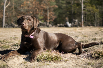 Kahlua - Chocolate Female Lab - 1