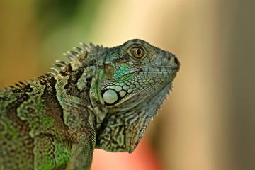 Green Iguana / San Ignacio, Belize