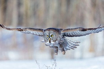 The great grey owl in the golden light. The great gray is a very large bird, documented as the world's largest species of owl by length. Here it is seen searching for prey in Quebec's harsh winter.