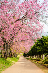 pink flower tunnel of Sakura or Wild Himalayan Cherry tree in outdoor park at Khun Wang Royal Project of Chiang Mai,Thailand