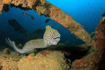 Fototapete - Honeycomb Moray Eel