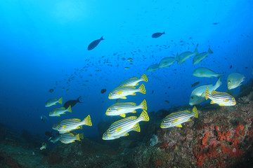 Coral reef and tropical sea fish underwater in ocean