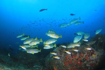 Coral reef and tropical sea fish underwater in ocean