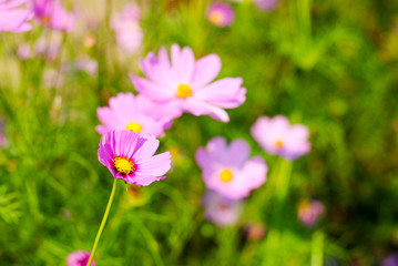 pink cosmos flowers background wallpaper nature summer