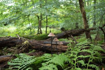 Pilzgruppe im Wald