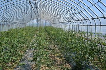 ミニトマトのビニールハウス栽培