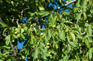 unripe walnuts. walnut