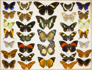 Cased Collection of Exotic Butterflies