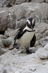 Jackass Penguin, Betty's Bay, South Africa