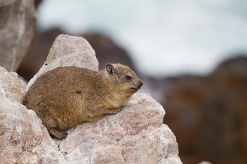 Dassie, Betty's Bay, South Africa