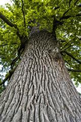 Bark of oak tree, Czech Republic, Southern Morava, Lednice
