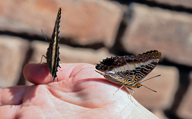Two butterfly - Tanzania, Africa