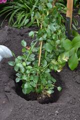 Rosen pflanzen 13