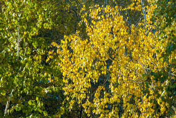 Birch trees in autumn. Photographed from a window on top of the crown