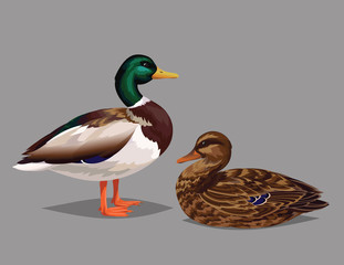 Realistic birds Wild Ducks isolated on a grey background.