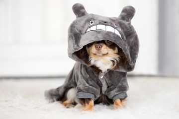 adorable chihuahua dog in clothes with a hood