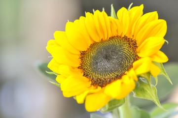 helianthus annuus,  sunflower