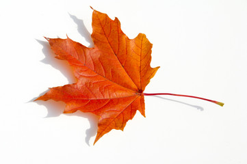 Texture, pattern, background.  autumn maple leaf on a white background