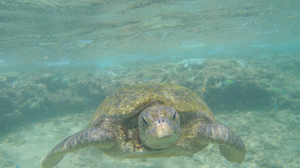 wild turtle swimming on the reef