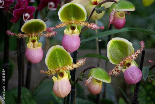 Orchid es sabot de v nus roses et vertes photo libre de - Orchidee sabot de venus ...