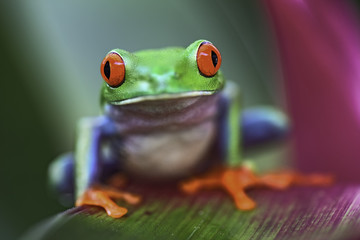 Tropical red eyed tree frog, Agalychnis callidrias
