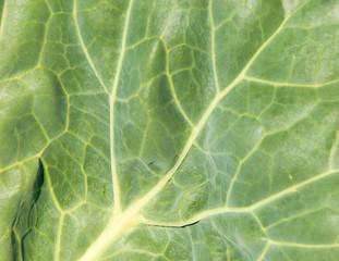 Texture cabbage leaf.