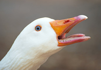 Portrait of white screaming goose outdoors.