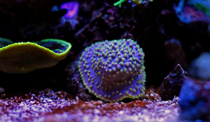 Yellow polyps Purple Turbinaria coral