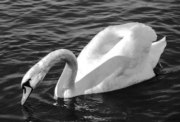 swan monochrome close-up  photo. Beautiful picture, background, wallpaper