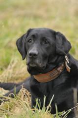 Labrador liegt im Gras