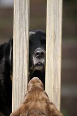 Alter Labrador schaut durch Zaun