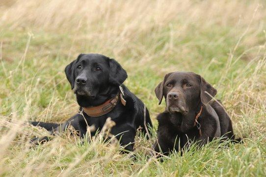 zwei Labradore liegen im Gras