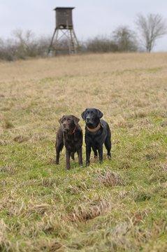 Zwei Labradore stehen auf einer Wiese