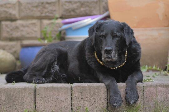 Labrador liegt auf Treppe