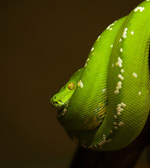 Green tree python resting in loop position - Morelia viridis