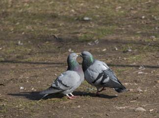 piccioni in accoppiamento
