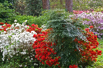 Springtime in Pinehurst, North Carolina. Azaleas and Rhododendrons everywhere.