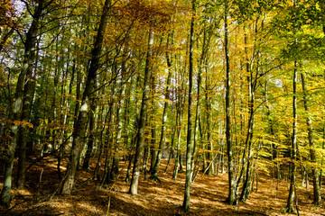Lichter Wald, Wald, Buchen, Laub