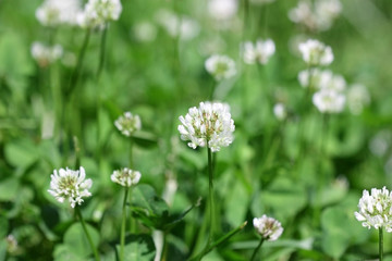 Lawn with the blossoming white Clover in sunny day. Close up. Macro. Vegetable background gorizontally. Fabaceae Family. Trifolium pratense.