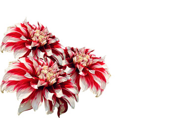 two-tone white and red dahlia