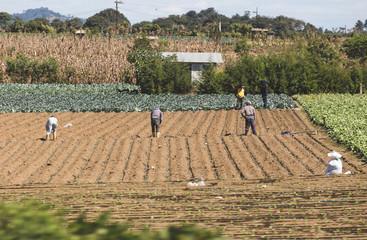 Workers in a field in Guatemala