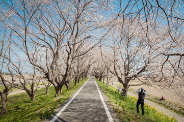 Park with beautiful blooming of cherry trees and people