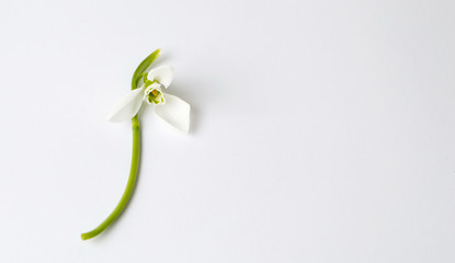 Single snowdrop flower on white background