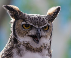 Fotobehang Uil A Great Horned Owl with its mouth open