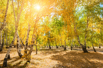 Autumn forest with yellow trees at sunny day.