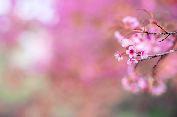 Focus Cherry Blossom or Sakura flower on nature background