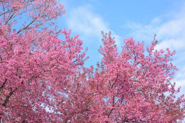 Cherry Blossom or pink Sakura flower againt the blue sky